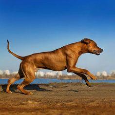 best running dogs