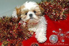 Shih Tzu Christmas