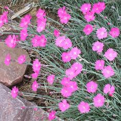 57 best the most beautiful flowers images on pinterest garden bearing bright pink fragrant flowers in mid spring and continuing off and on through fall fire witch dianthus packs a lot of color in a small plant mightylinksfo