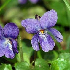 Behind the Name: Meaning, origin and history of the name Violet mean violet for the purple flower from Latin viola , Wioletta Wioleta Violetta Violeta Wiola oznacza fiołka fiołek