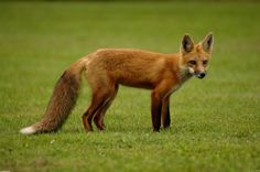 red fox pictures | title red fox uploader anonymous licence category creatures tags fox ...