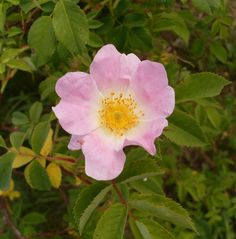Rosa dumalis - Nyponros