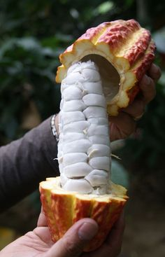 Cocoa Bean Pod - Bing Images