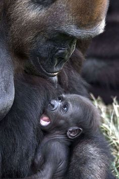 A newborn gorilla, named Ameli, rests in the arms of her mother, Anya. Picture: Jack Guez