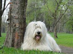 picardy sheepdog photo | Южнорусская овчарка фото | superpesik.ru