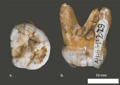 Neanderthals weren't the only ancient cousins that humans frequently mated with…