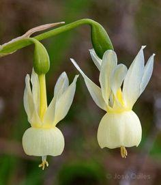 Narcissus pallidulus