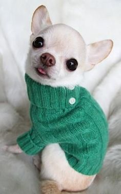 the white chihuahuas are really really cute... they all are, really. #dogsfunnychihuahua