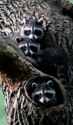 Raccoon Family by Hard-Rain Raccoon Family, Baby Raccoon, Cute Raccoon, Nature Animals, Woodland Animals, Animals And Pets, Wild Animals, Mundo Animal, My Animal
