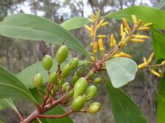 Persoonia levis, commonly known as the broad-leaved geebung, is a shrub native to New South Wales and Victoria in eastern Australia. (photo by John Tann) Australian Garden Design, Native Plants, Shrubs, Fruit, Levis, South Wales, Food, Medicine, Trees