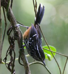 Ochre-Rumped Antbird, Drymophila ochropyga
