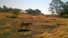 Gir Forest, Lion Book, National Parks, Animals, Animales, Animaux, Animal, Animais