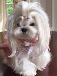15 Maltese Haircuts & Hairstyles: White, Fluffy, and Looking Fabulous! 15 Coupes de cheveux et coiff White Puppies, Cute Dogs And Puppies, Baby Dogs, Doggies, Dog Grooming Styles, Puppy Grooming, Teacup Maltese, Maltese Dogs, Dog Haircuts