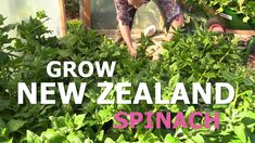 How to grow New Zealand spinach. Perfect spinach for Nordic climate. How to become self-sufficient on less than 1 acre.