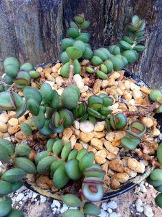 ADROMISCHUS SUBDISTICHOUS MAKIN #succulent