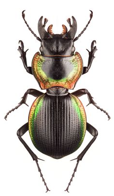 Mouhotia plannipennis_ large ground beetle found in the northern region of India and Malaysia