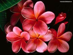Plumeria [ common name Frangipani ]flowers; Beautiful Flowers Pictures, Beautiful Flowers Wallpapers, Flower Pictures, Amazing Flowers, Pretty Flowers, Red Flowers, Beautiful Images, Tropical Flowers, Hawaiian Flowers