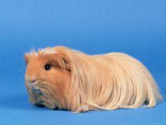 Awwww a coronet guinea pig