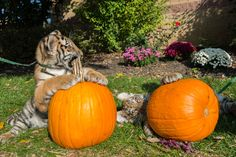 More tiger cub pumpkin carving at the Columbus Zoo and Aquarium!