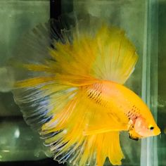 Now available on our store! Betta Halfmoon (W... Check it out here! http://www.freshnmarine.com/products/betta-halfmoon-wysiwyg-for-the-week-19-march-2017?utm_campaign=social_autopilot&utm_source=pin&utm_medium=pin