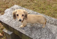 Our long hair English cream mini dachshund Cassie English Cream Dachshund, Mini Dachshund, Weenie Dogs, Doggies, Scottish Fold, Dachshunds, Little People, Border Collie, Wonders Of The World