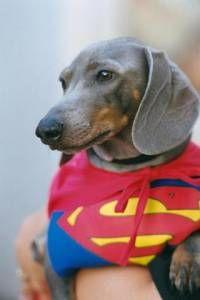 Super Simon, our blue dachshund (RIP 1996-2011