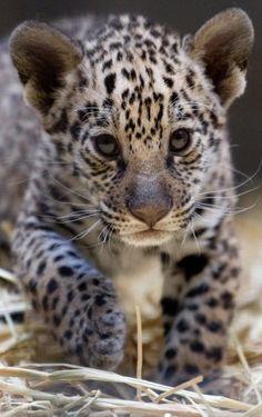 ドイツのベルリン動物園(Berlin Zoo)で今年4月に産まれたジャガーの赤ちゃん