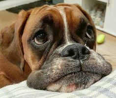 """Outstanding """"boxer puppies"""" information is offered on our web pages. Check it out and you wont be sorry you did. Boxer And Baby, Boxer Love, I Love Dogs, Cute Dogs, Animals Beautiful, Cute Animals, Happy Dogs, Dog Life, Funny Dogs"""