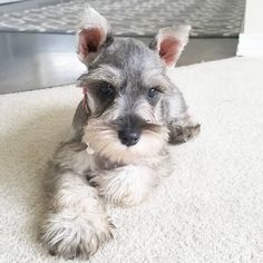 """2,193 Likes, 105 Comments - 🐶🐾Winston🐶🐾Louie 🐶🐾Zoey (@winstonbminischnauzer) on Instagram: """"Zoey: Flashback Friday...when I was a sweet baby doll Itty bitty baby 😆😆😄😄😄"""""""
