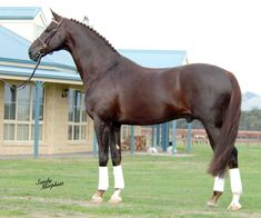 Royal Hit - Oldenburg stallion. Gorgeous liver chestnut... dream horse!