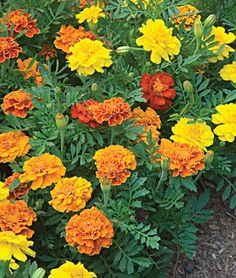 Happy Days Mix Marigold Seeds and Plants, Annual Flower Garden at Burpee.com