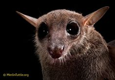 Cave Nectar Bat-  What big eyes you have!