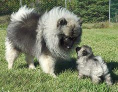 Mama & baby Keeshond love!