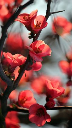 Wallpaper - Red Cherry Blossom Flowers Macro android wallpaper HD - My CMS Cherry Blossom Flowers, Beautiful Flowers, Cherry Blossom Pictures, Cherry Blossom Background, Plum Flowers, Winter Flowers, Red Background, Nature Wallpaper, Spring Wallpaper