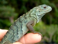 In 2002, between 10-25 blue iguanas remained in the wild. Today, there are 750. By incubating eggs in his home office and gathering plants to feed the baby blues, Fred Burton and his team have brou…
