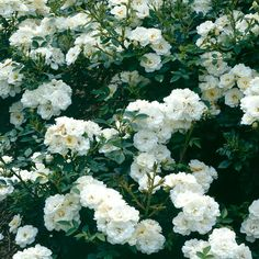 Peittoruusu White Cover - Viherpeukalot