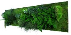 Tableau végétal stabilisé - Bois blanc Panoramique XL