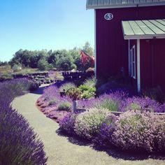 Sequim Lavender Farm