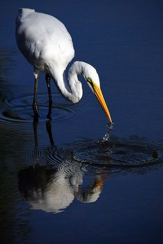 *Great White Egret (by neurosis)