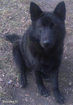 Norwegian Elkhound black