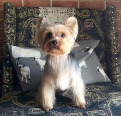 24 Best Yorkie Hairstyles for Males (Yorkshire Terrier Haircuts) – The Paws Yorkie Teddy Bear Cut, Yorkie Cuts, Grooming Yorkies, Dog Grooming, Yorkie Hairstyles, Puppy Haircut, Yorkshire Terrier Haircut, Dog Haircuts, Yorky