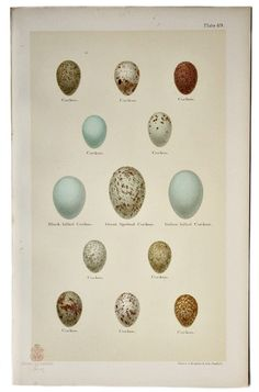 Ursus Books and Prints Cuckoo Eggs, Chromolithograph of cuckoo eggs. Printed in Sheffield, England, Unsigned. Has minor toning to edges of paper. Vintage Birds, Vintage Images, Vintage Prints, Vintage Posters, Vintage Labels, Vintage Art, Printable Animals, Printable Art, Free Printables
