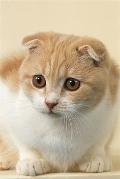 Chaton Scottish Fold. I like the way his ears fold the best