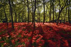 """Si chiamano """"spider red"""" i fiori che ricordano ragni sbocciati in un parco a Saitama, vicino Tokyo, in Giappone. Questi gigli tappezzano i prati, catturando l'attenzione dei turisti incantati dalla magia dei colori. I Lycoris radiata, volgarmente chiamati """"ragni rossi"""", sbocciano"""