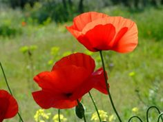 Papaver rhoeas (Corn Poppy, Field Poppy) is a variable, erect annual, up to feet cm) tall, forming a long-lived soil seed bank. Greek Flowers, Wild Flowers, Planting Flowers, Flowering Plants, Bee Drawing, Anzac Day, Seed Bank, Art Society, Wildflower Seeds