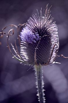 thistle ~ even a thistle can be adored
