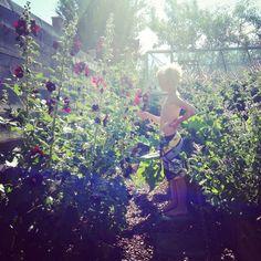 Stockrosor i drömträdgården