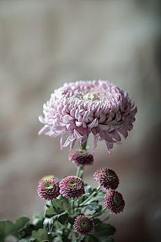 #Chrysanthemum, Chrysanthemen #2flowergirls