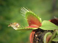 Plantas carnívoras: Venus atrapamoscas.