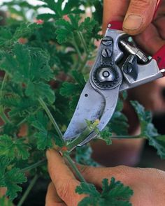 """See the """"Pruners"""" in our Garden Tool Glossary gallery"""